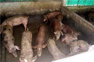 Cerdos en su zahúrda
